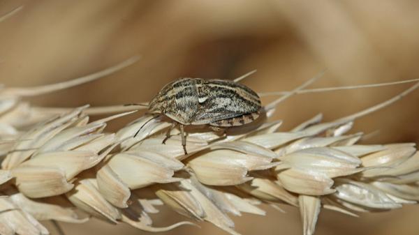 Клоп черепашка на пшенице