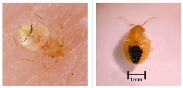Постельные личинки