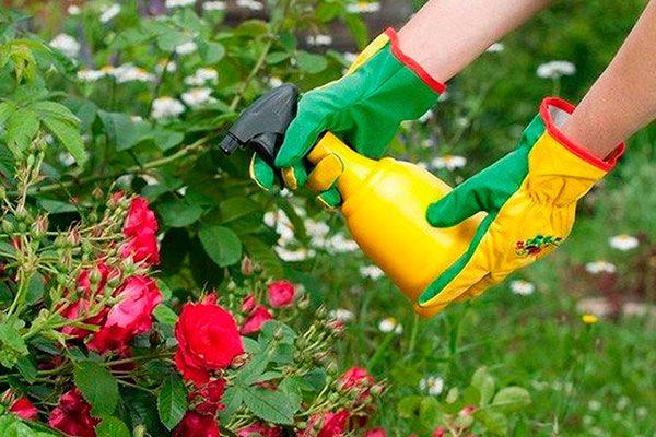 Как опрыскивать розы