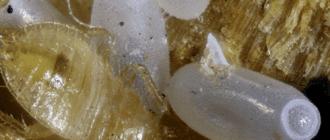 Яйца клопов через сколько вылупляются