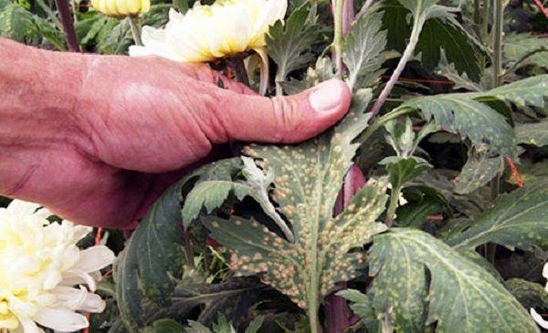 Чем опасна тля для хризантемы