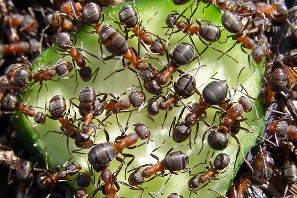 Луговые муравьи