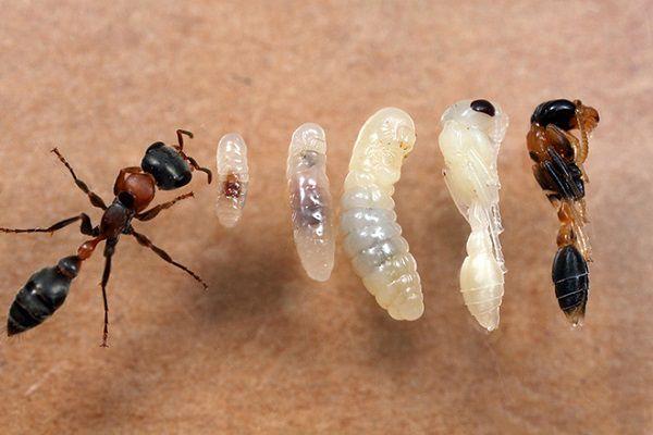 Цикл развития муравья