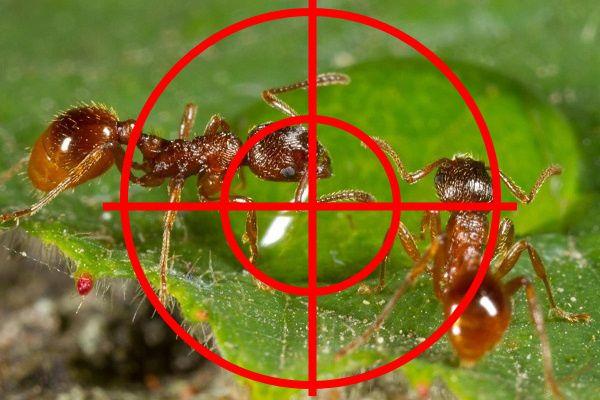 Истребление муравьев